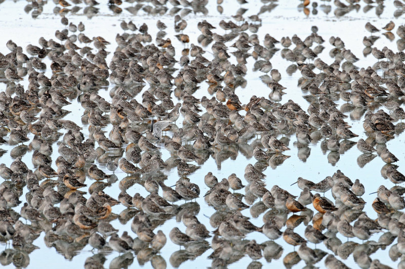 Dowitchers D-43.jpg