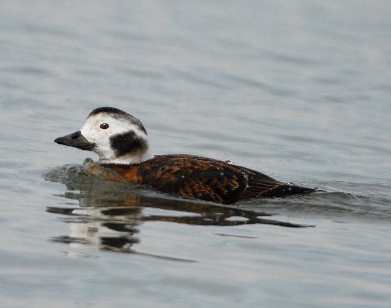 Duck Long-tailed D-021.jpg
