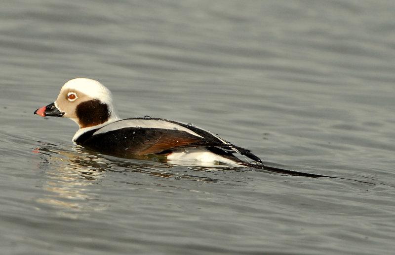 Duck Long-tailed D-026.jpg