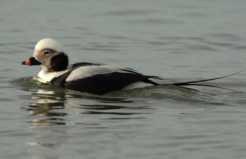 Duck Long-tailed D-032.jpg