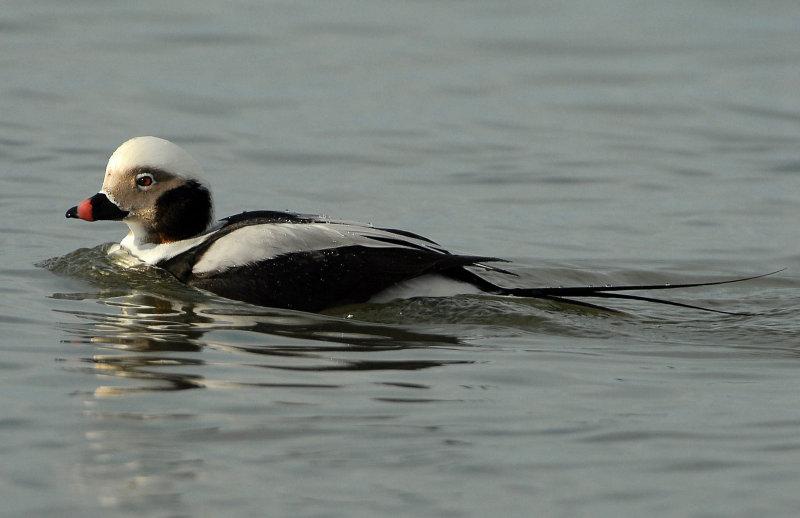 Duck Long-tailed D-033.jpg