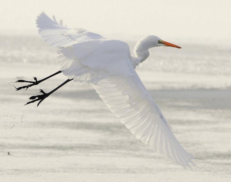 Egret Great D-045.jpg
