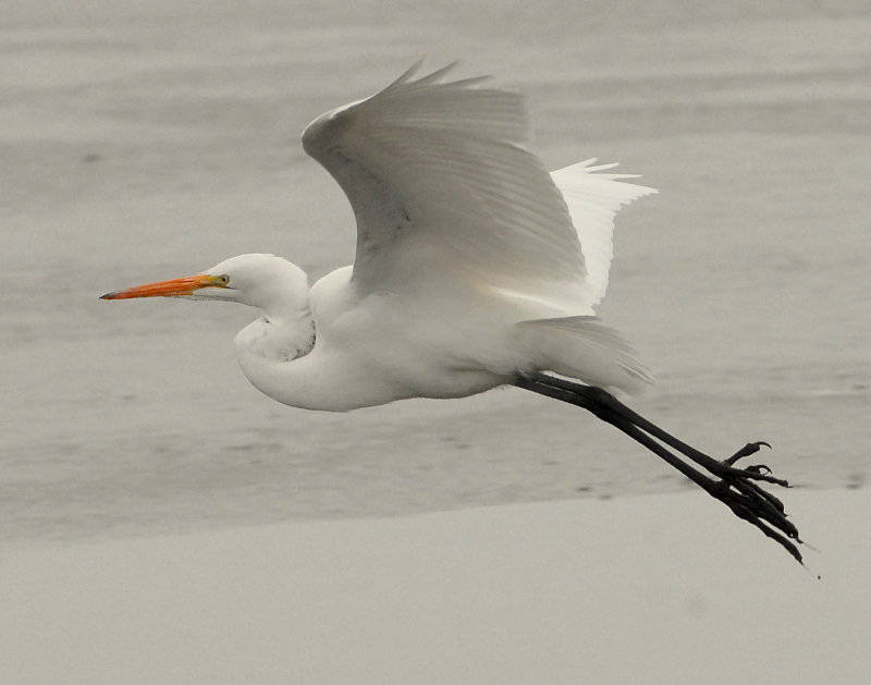 Egret Great D-011.jpg