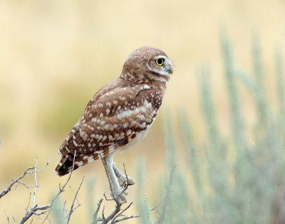 Owl, Burrowing (Fledgling)