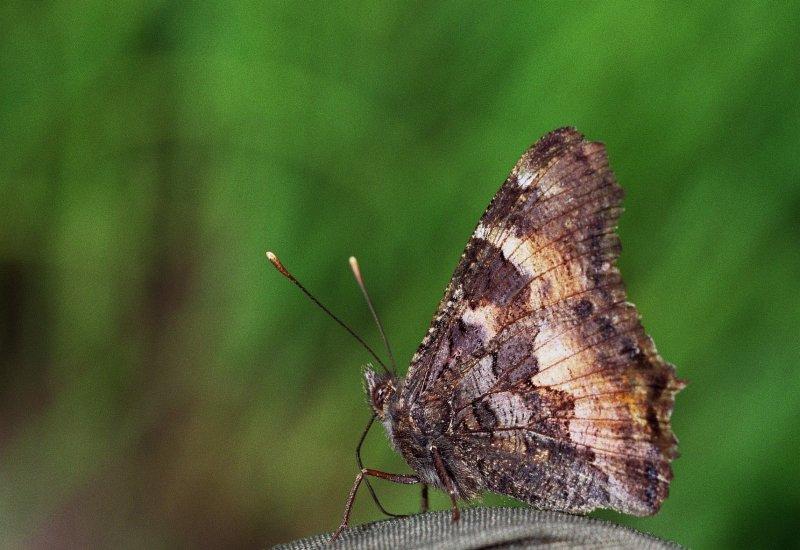California tortoisehell butterfly_