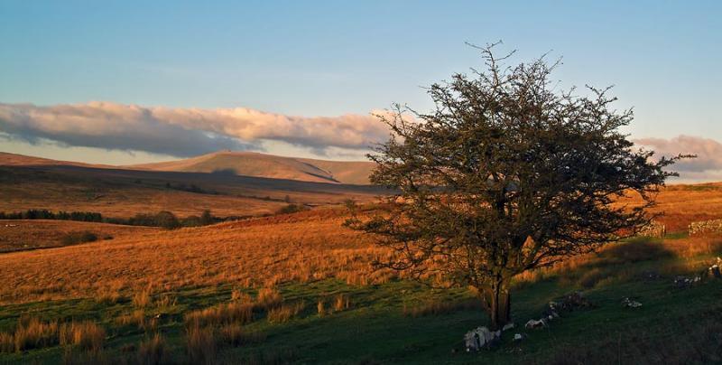 Solitary hawthorn bush near Penderyn
