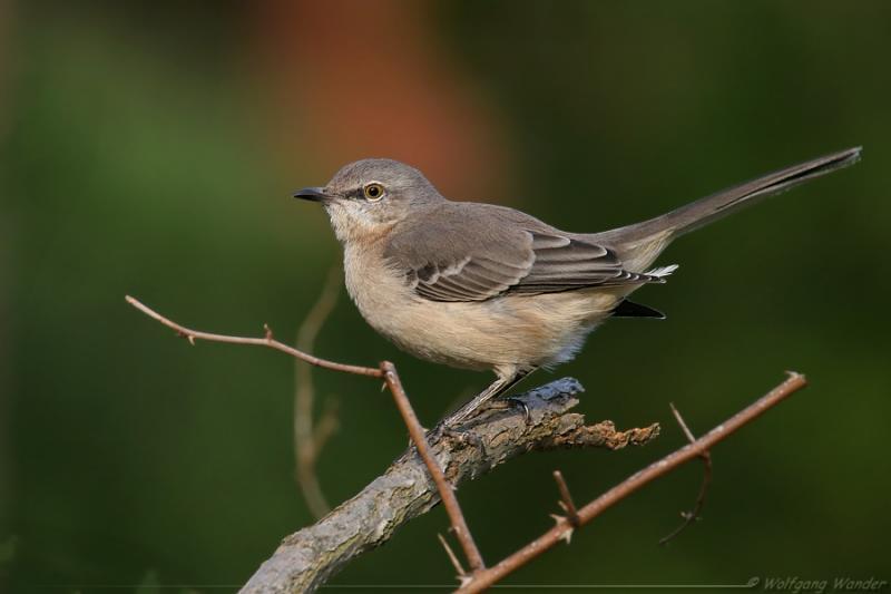 Northern Mockingbird <i>Mimus Polyglottos</i>