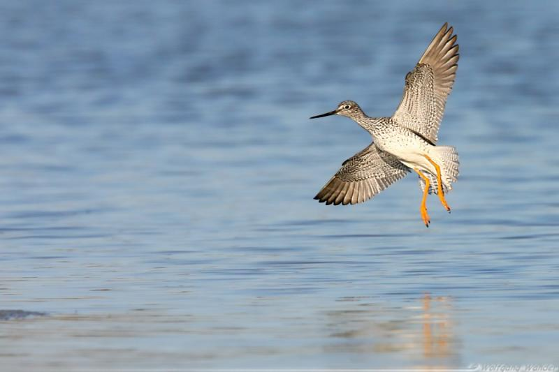 Lesser Yellowlegs <i>Tringa Flavipes</i>
