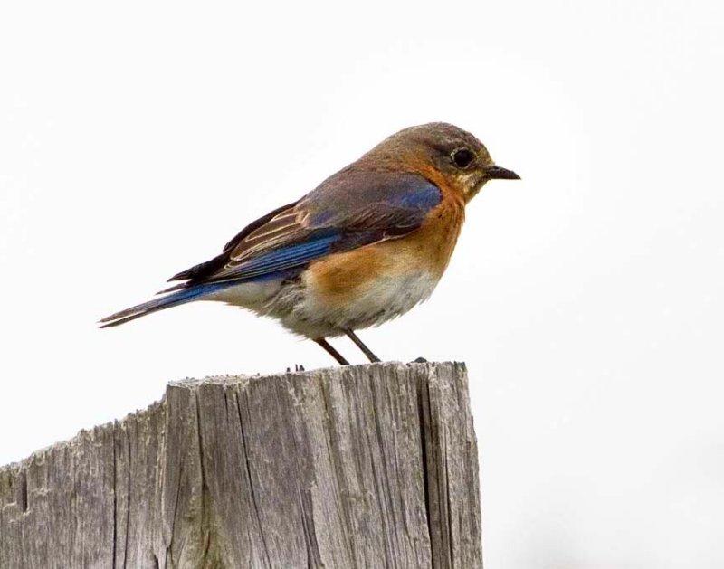 Western_Bluebird