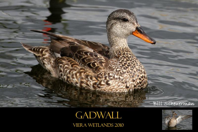 Gadwall