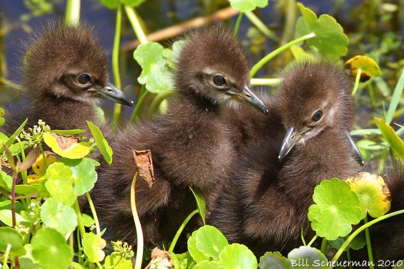 Limkin chicks