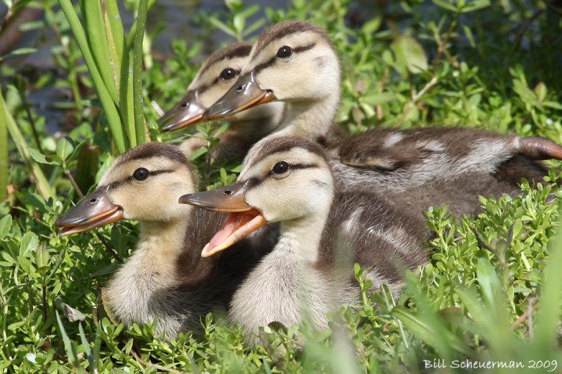 Mottled duckies