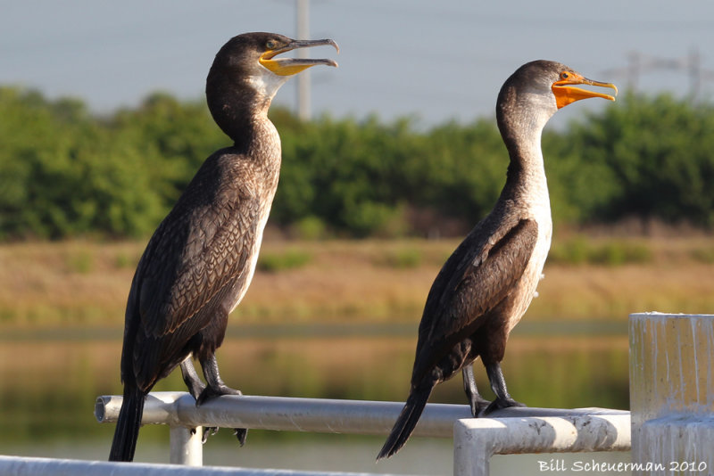 Great Cormorant & Double-crested Cormorant