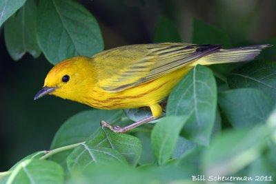 nj11_yellowwarbler.jpg