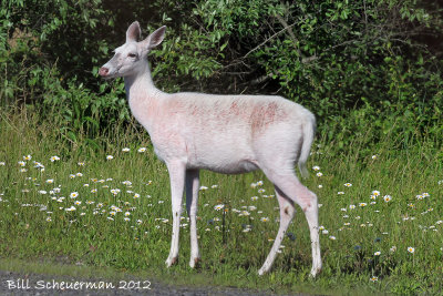 White Deer at Senaca Lake