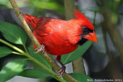Northern Cardinal ♂