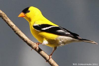 Goldfinch ♂