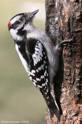 Downey Woodpecker ♂