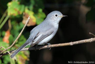 Blue-Gray Gnat-catcher