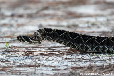 Eastern Diamond-backed Rattle Snake