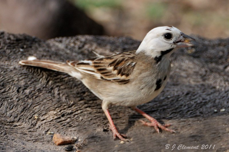 Leucistic Lark Sparrow