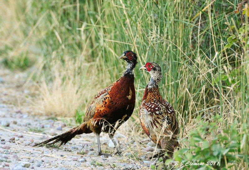 Common  Pheasent