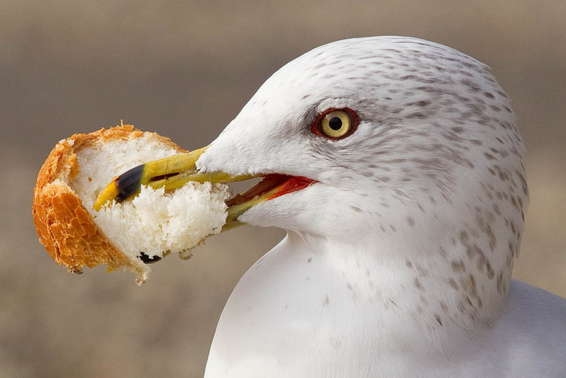 1/18/2012  Gull with bread