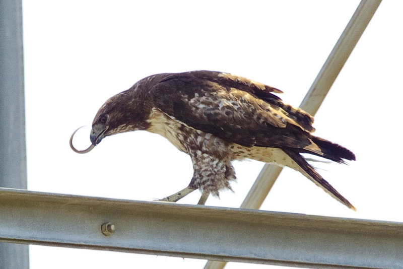 5/9/2012  Hawk with a snake lunch