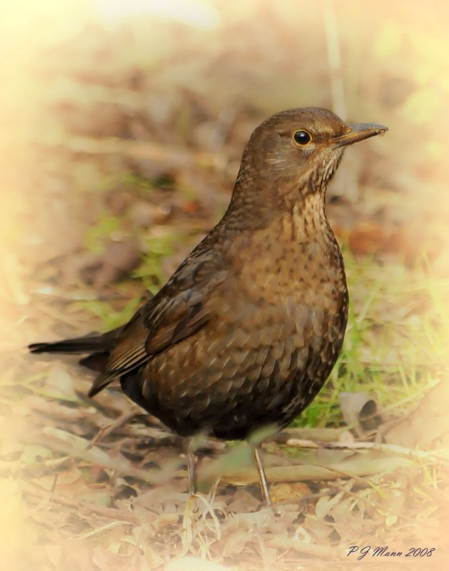 Black Bird (Female) Barnwell. Country Park. Oundle. UK