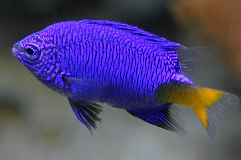Really blue fish.jpg