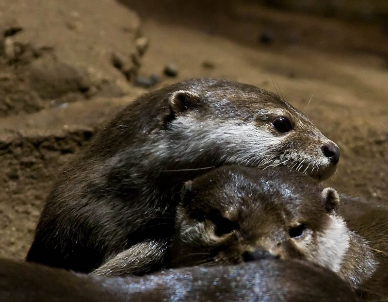 Asian Small Clawed Otters _MG_9688 t.jpg