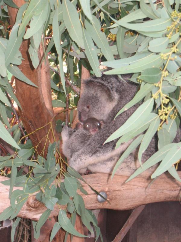Lone Pine Koala Sanctuary 100.jpg