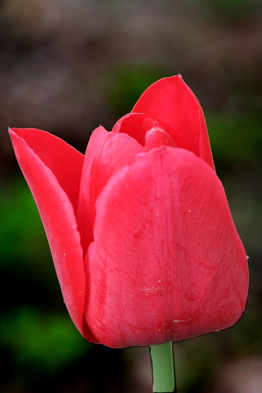Tulip 1e.jpg