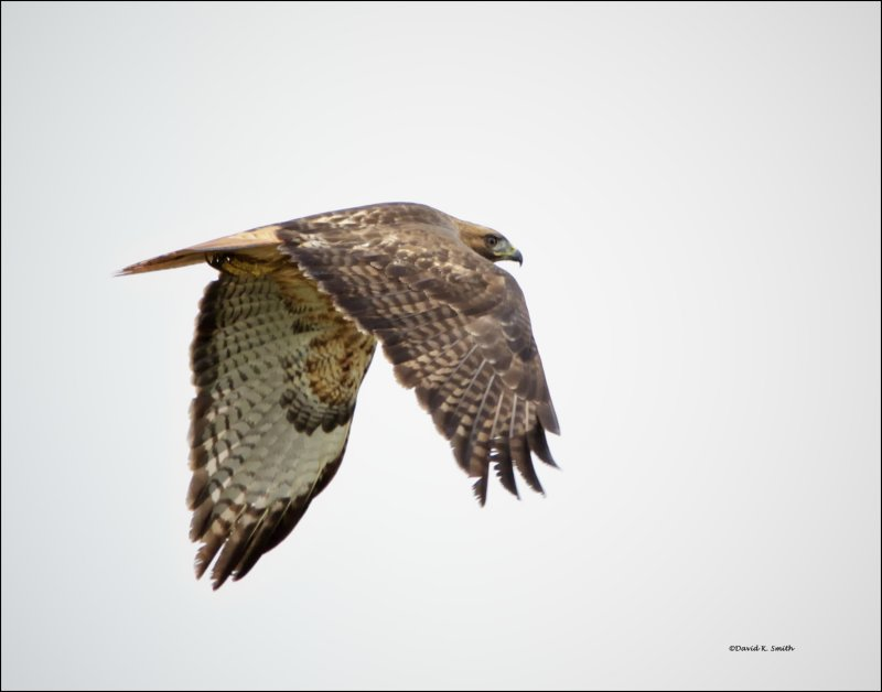 Red Tail Hawk -- Just Leaving