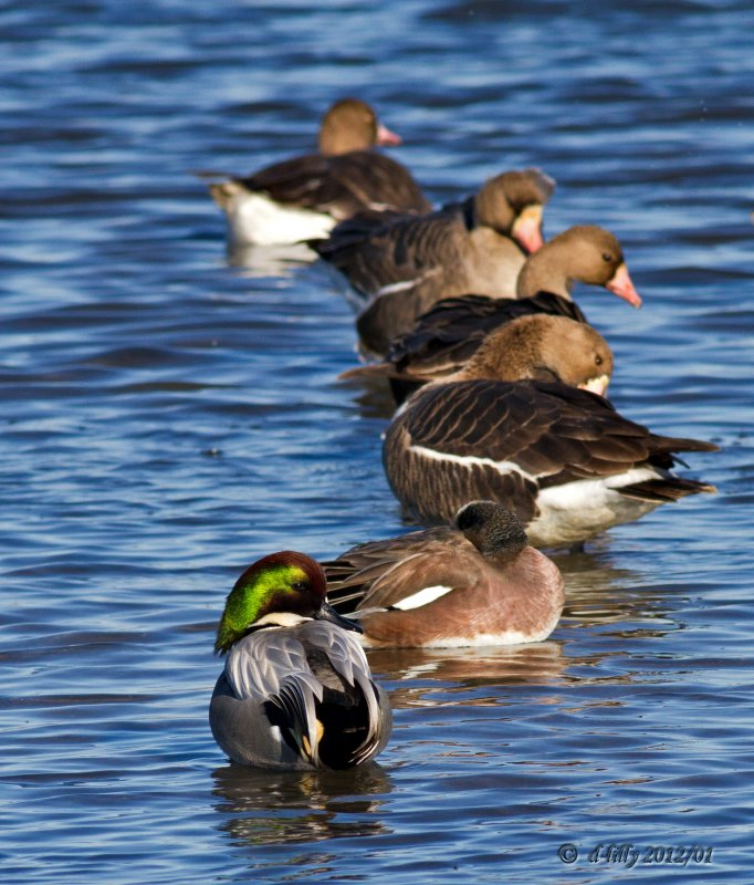 Falcated Duck and Greater White-fronted Geese
