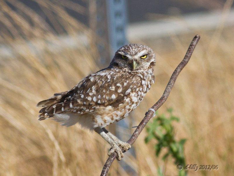 Burrowing Owl on perch