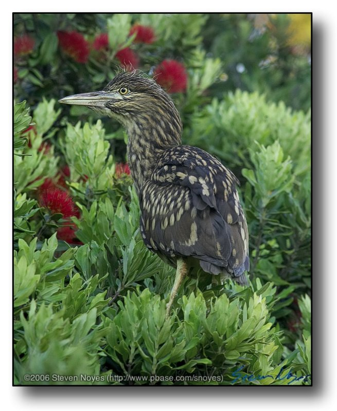 Night Heron : On the Shore Front