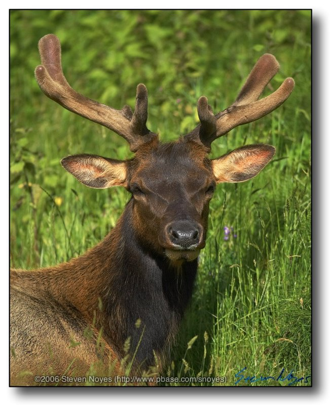 California : Close up of Elk