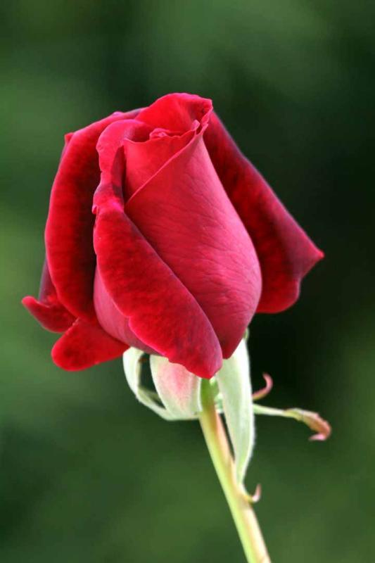 IMG_6825 roses.jpg