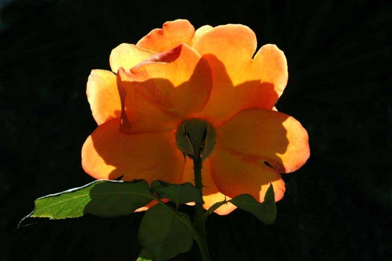 IMG_2648 roses.jpg