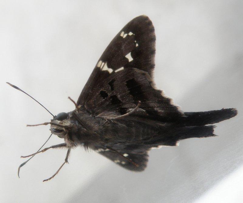 Moth Front PB220115.jpg