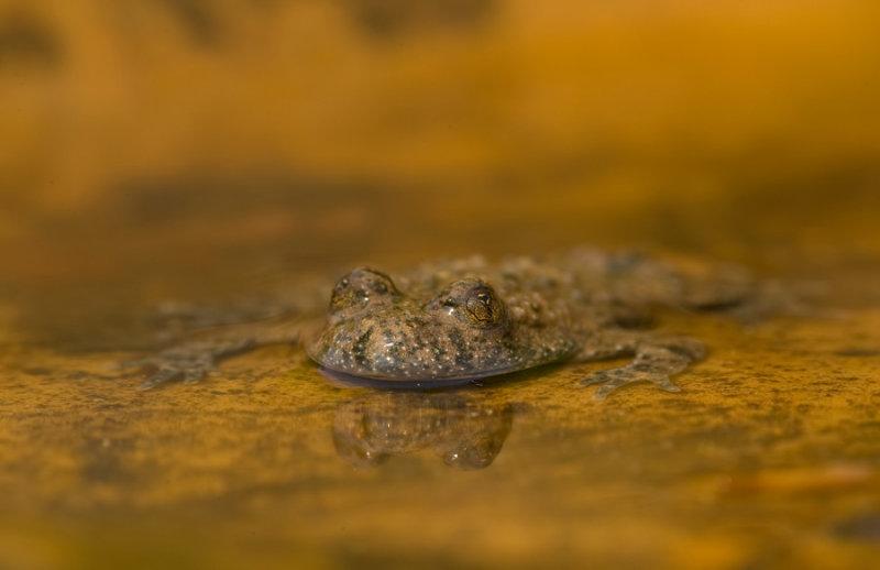 Yellow bellied toad / Geelbuikvuurpad