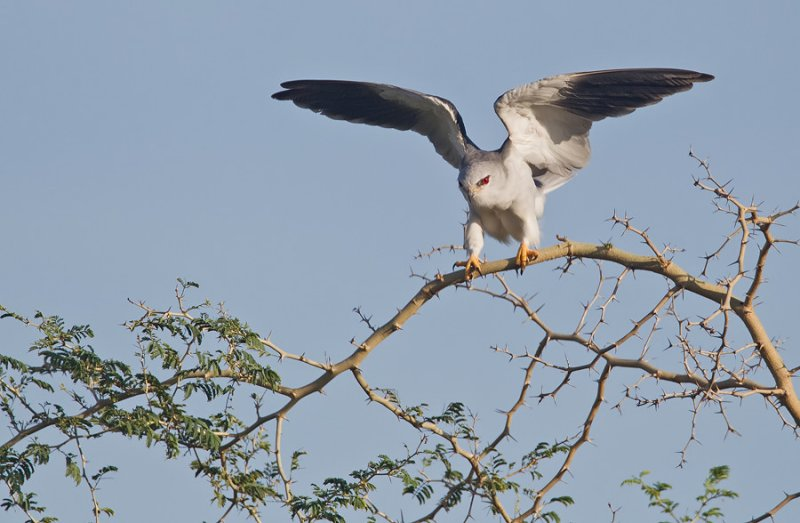 Black-winged kite / Grijze wouw