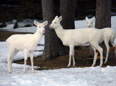 Jackpot, 3 white deer