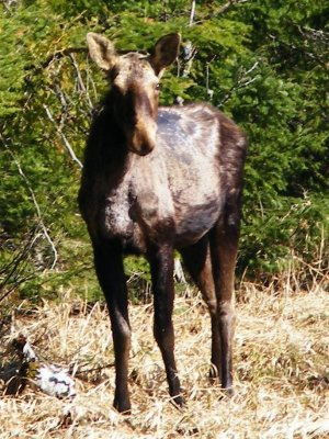 Young Moose on It's Own.