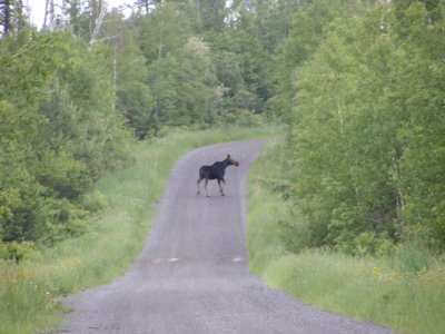 Moose on Jackson Lake Road