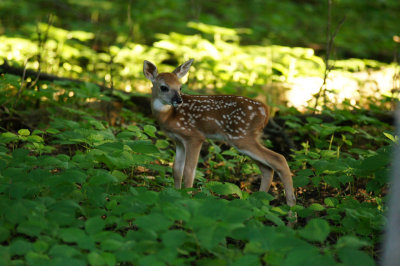 One of  Beggar's new fawns (2012)