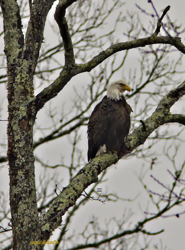 Shiloh Eagle