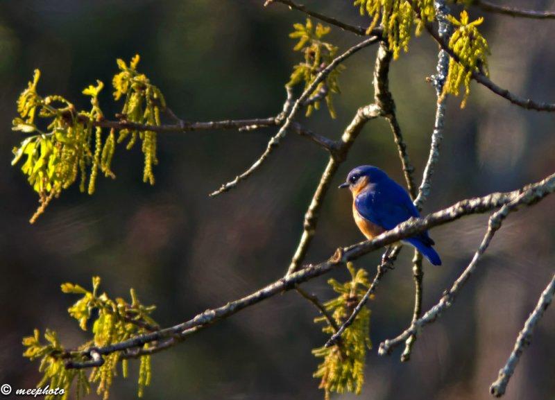 Bluebird in Oak