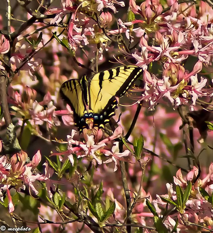Swallowtail and Rhododendron